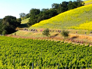 Runners passing vineyards headed towards the town of Solvang.